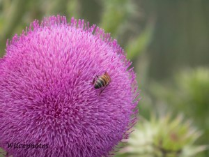 This thistle looks like a Bull Thistle (Cirsium vulgare), but that identification is uncertain.