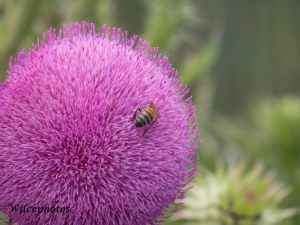 The Flagstaff area is home to both native and invasive thistle varieties. Isn't this native one gorgeous?