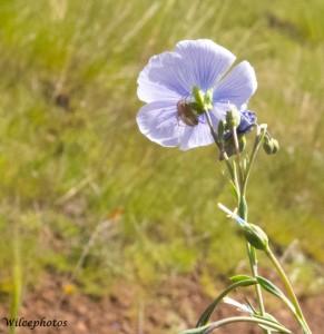 Blue flax (Linum lewisii)
