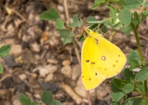 Clouded Sulphur - Colias philodice Butterfly (Small Yellow) (Hwy180 near The Peaks 13 July 2015) 6632PSD copy Blog