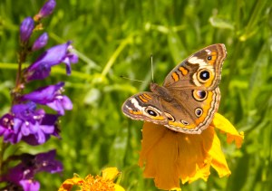 """Can you see the """"clubs"""" at the ends of the """"Buckeye's"""" antennae? A butterfly indeed!"""