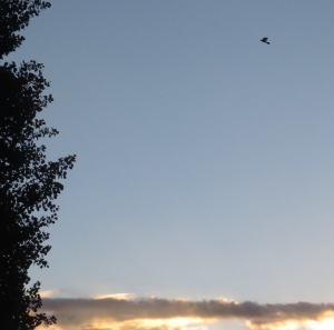 Dove?AtSunrise(Flagstaff7July2015)5060Cropped