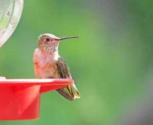 Hummingbird at Arboretum (10July2015) 6038 Instagram