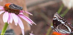 ShowdownAtTheLepidopteraCorral; LittleMothFacesDownBig Butterfly; FrontYardWonders(BlogAndInstagram)