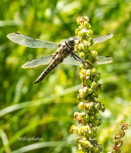 Dragonfly of unknown type