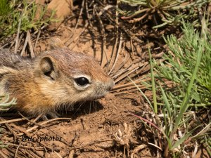 Young Ground Squirrel (Experimental Forest 15 Julyy 2015) 7047 Instagram