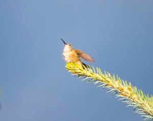 Hummer looks to the sky