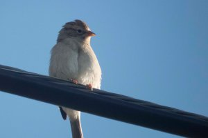 SparrowOnWire; Hwy180; 15August2015; 1753 copy 2