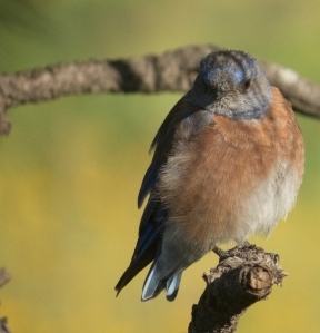 WesternBluebird; EarlyMorningLight; 15August2015; 1734 copy 2