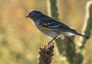 4192 Yellow-rumped Warbler