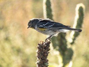 4193 Yellow-rumped Warbler
