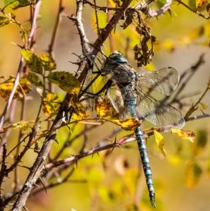 Dragonfly; ArboretumOfFlagstaff; 7065 copy4