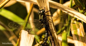 Dragonflies coupling, with focus on the top partner
