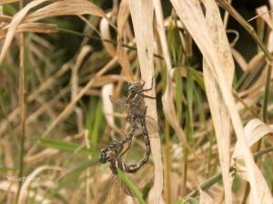 ShadowDarnersMating(TopPartnerFocus); AeshnaUmbrosa; FamilyAeshnidae;5743 Watermarked2