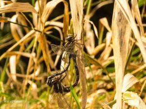 ShadowDarnersMating(TopPartnerFocus); AeshnaUmbrosa; FamilyAeshnidae;5744Watermarked 3