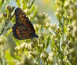 Sedona Wetlands: A Butterfly Paradise
