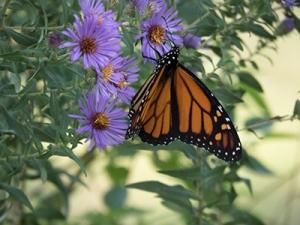 MonarchForBlog; IMG_5014Shrunk