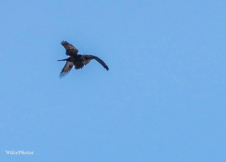 BIF-RavenCollidingWIthHawk; AnasaziRidge; IMG_9351; C2PSD4