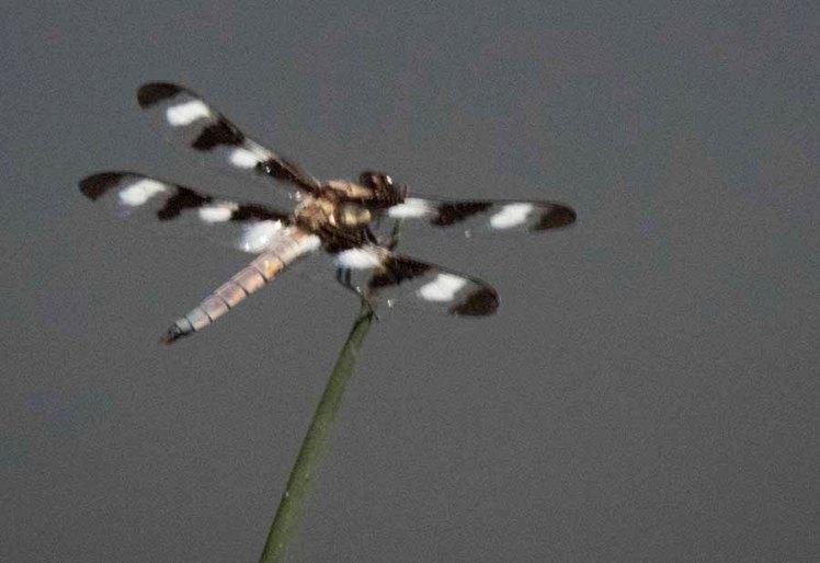 I-D-Odonata; 12SpottedSkimmer; Libellula pulchella; FrancisShortPond; 15July; IMG_0702; C2PSD2
