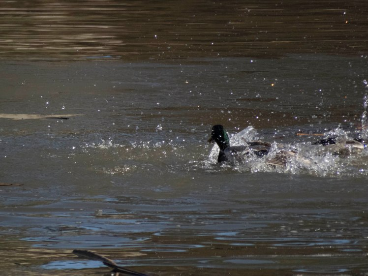 MallardDuckFight; FrancesShortPond; 27Dec2017; 0963