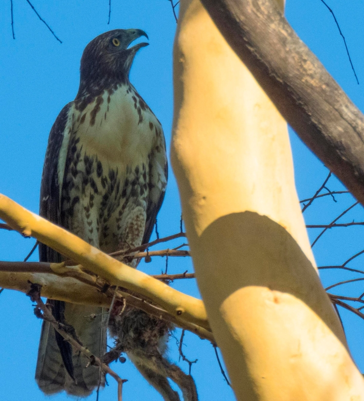 red-tailedhawkineucalyptus-thompsoncreek-claremont-1250.jpg